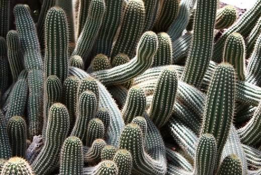 C mo cultivar cactus en el huerto diario del agro for Como plantar cactus