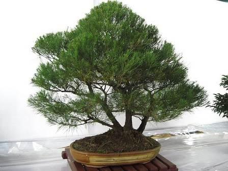 Como cultivar un bons i diario del agro for Como cultivar bonsais